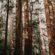 To Save the Redwoods, Scientists Debate Burning and Logging